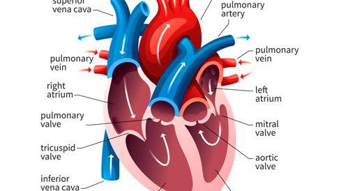 heart GettyImages-598167278-5b47abf4c9e77c0037f4fedf