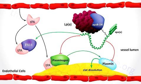 lpa Lpa-pro-atherogenesis