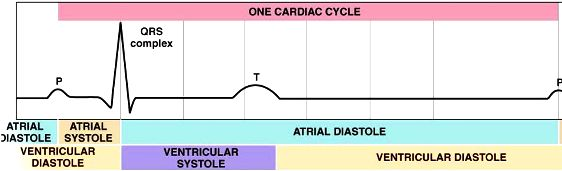 EKG and One Cardiac Cycle