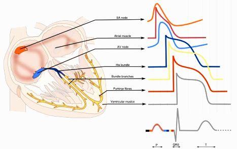 hkg ecg-BBB-physiology