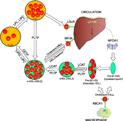 hdl-Figure-1-Reverse-cholesterol-transport-pathway-Arrows-are-indicative-of-cholesterol
