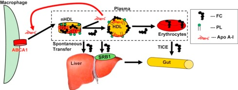 Structure and Metabolism of Nascent HDL