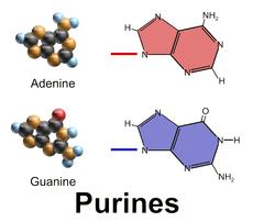 gout Blausen_0323_DNA_Purines