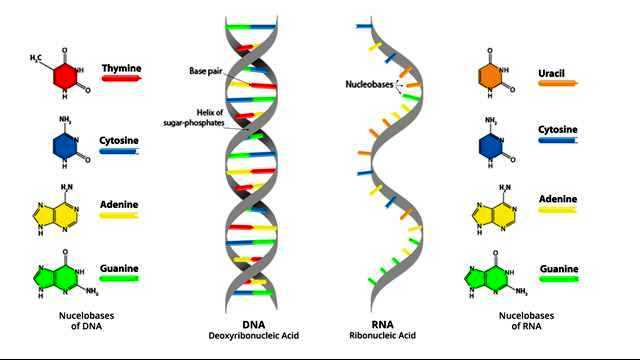 gout what-are-the-key-differences-between-dna-and-rna-296719