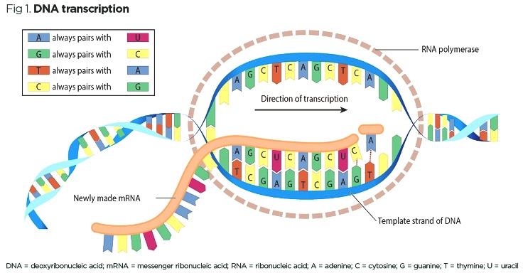 incl ## 3044294_Fig-1-DNA-transcription