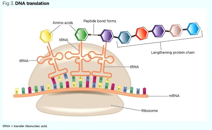 incl 3044296_Fig-3-DNA-translation