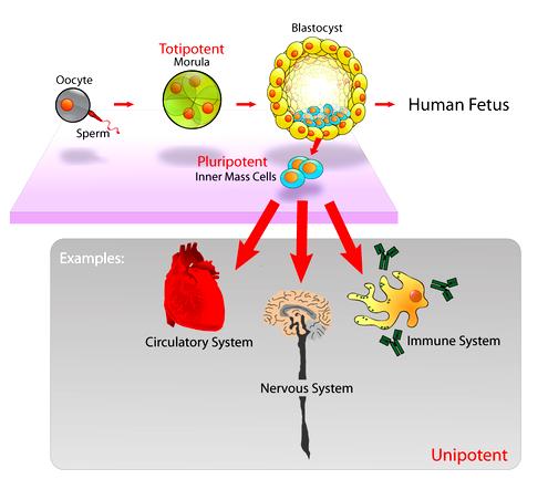 dna Stem_cells_diagram