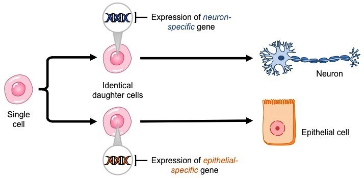 dna cell-differentiation_med