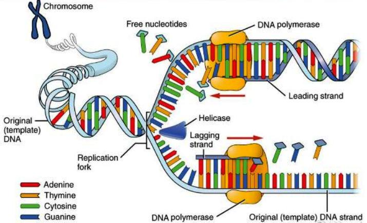 dna dna -polymerase-definition-function-quiz_01004105_114634