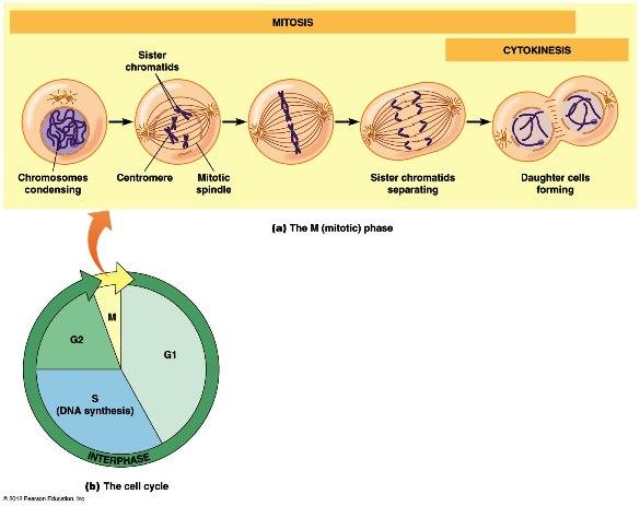 dna mitosis 19_01