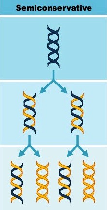 dna models-of-replication_med