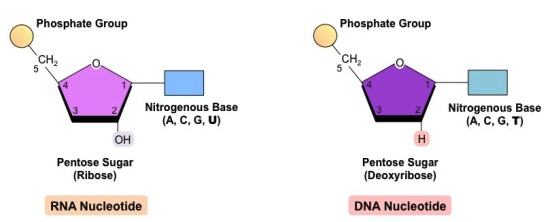 dna nucleotide-rna-vs-dna_med