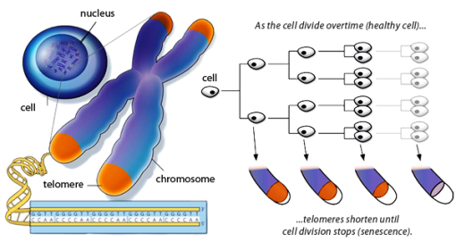 dna shortening_telomeres