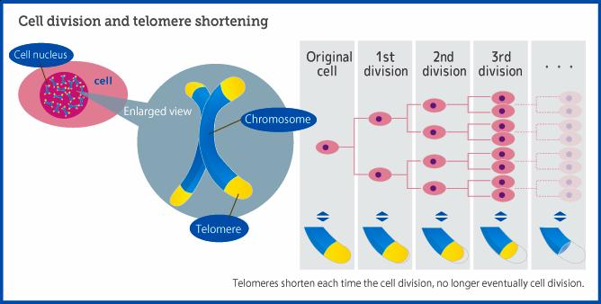 dna telomerase