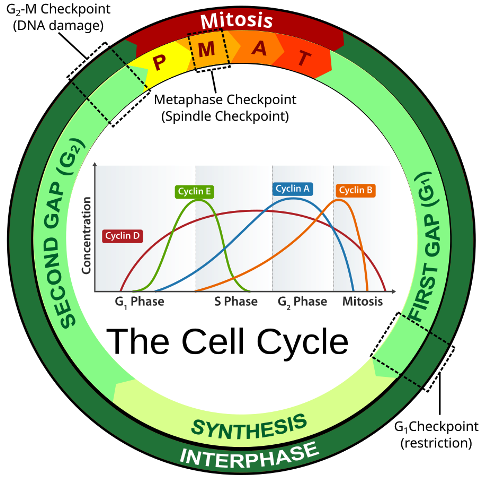 dna the-cell-cycle