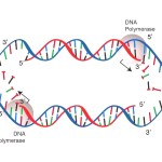 dna_replication