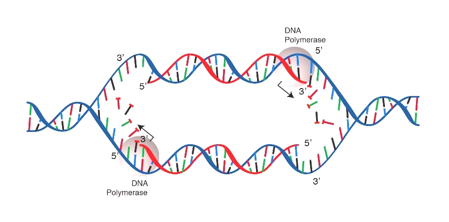 Η ΑΝΤΙΓΡΑΦΗ – ΑΥΤΟΔΙΠΛΑΣΙΑΣΜΟΣ ΤΟΥ DNA (ΣΤΗ ΦΑΣΗ ΤΗΣ ΣΥΝΘΕΣΗΣ, S)