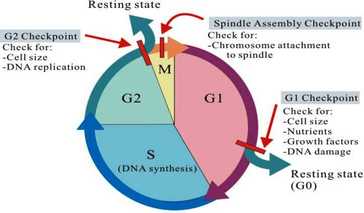 dna Cell cycle check points