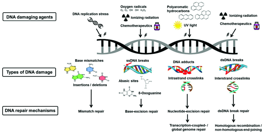 dna Deoxyribonucleic-acid-damage-and-repair-mechanisms-Various-DNA-damaging-agents-cause-a