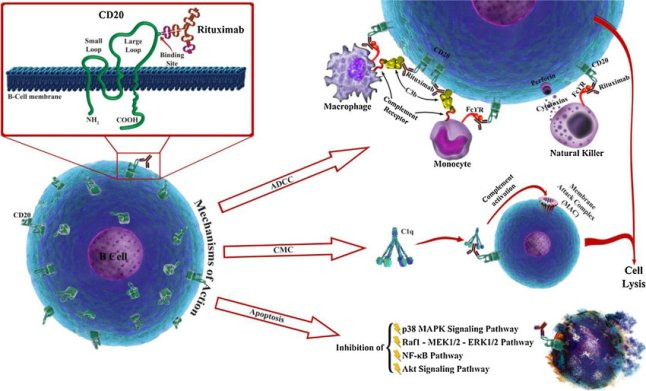 can@ Rituximab-mechanisms-of-action-the-three-major-independent-mechanisms-are-1-antibody