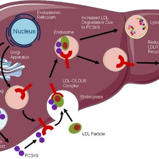 fh Mechanism-of-action-of-PCSK9-LDL-low-density-lipoprotein-LDL-C-low-density-lipoprotein_Q320