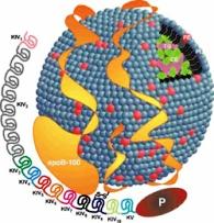 fh lipoprotein-a
