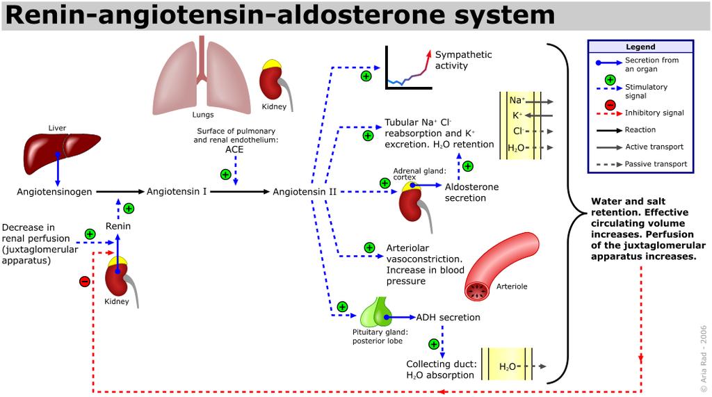 cor raas hypert-raas-otensin-aldosterone-system-1024x571