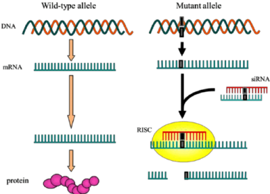 cp BBBBB-Outline-of-allele-specific-silencing-by-RNAi-Wild-type-and-mutant-alleles-are-indicated