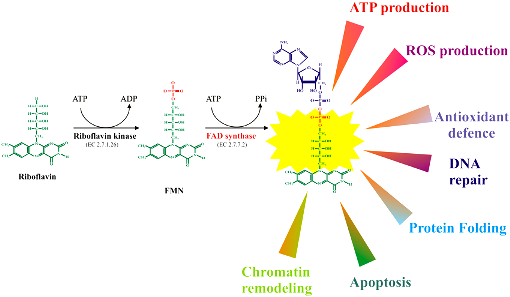 B2 FMN-and-FAD-synthesis-from-riboflavin-and-main-biological-functions-of-flavoenzymes-in