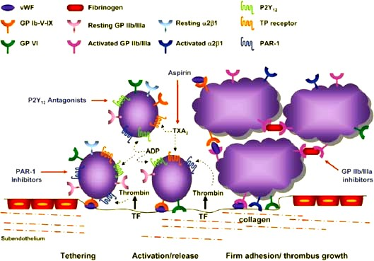 coag $$$$Platelet-adhesion-and-aggregation-The-interaction-between-glycoprotein-GP-Ib-and-von