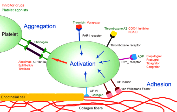 coag Platelet-agonists-involved-in-platelet-activation-and-site-of-action-of-inhibitory-drugs