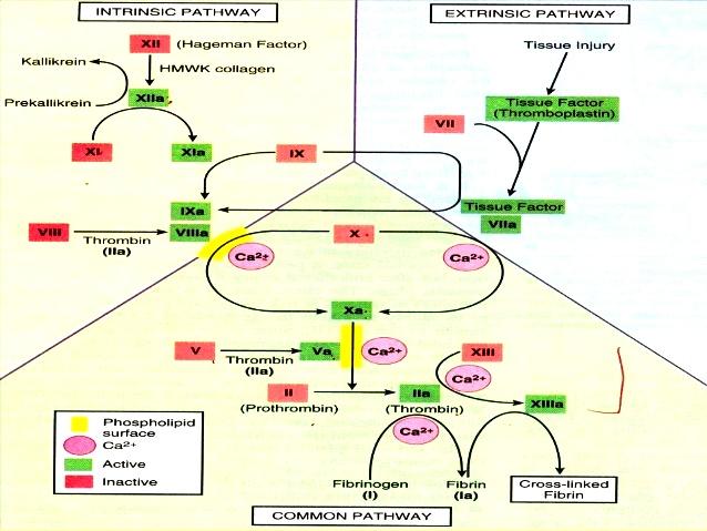 coag hemostasis-17-638