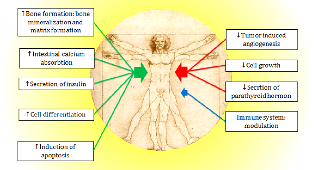 d Overview-of-biological-functions-of-vitamin-D