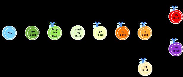 anosia B Cells image 1