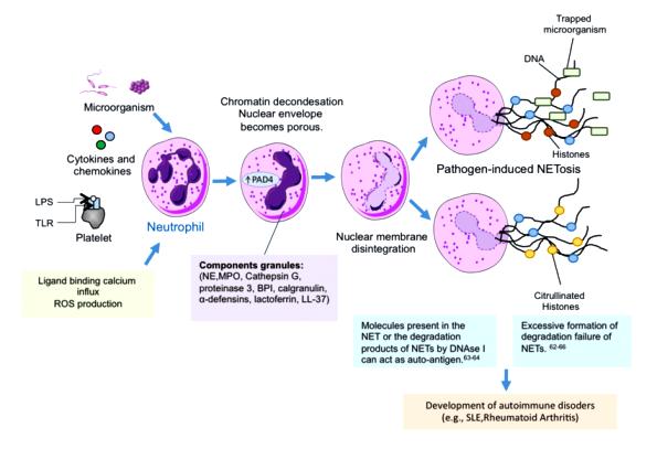 anosia Neutrophil-extracellular-traps-Neutrophil-extracellular-traps-NETs-are-composed-of
