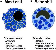 anosia Schematic-representation-of-mast-cells-basophils-and-the-high-affinity-IgE-receptor