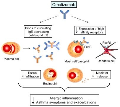 anosia nnMechanism-of-action-of-omalizumab-Omalizumab-binds-to-IgE-thus-forming-immune-complexes