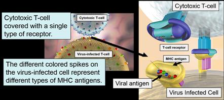 ANOSIA Antigen presentation and Cytotoxic T-cell