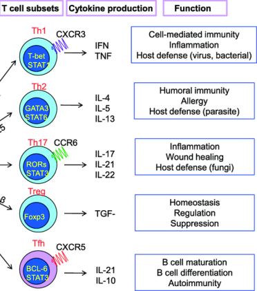 anosia T-helper-cell-lineage-development-and-function-The-cytokines-produced-by-dendritic-cells