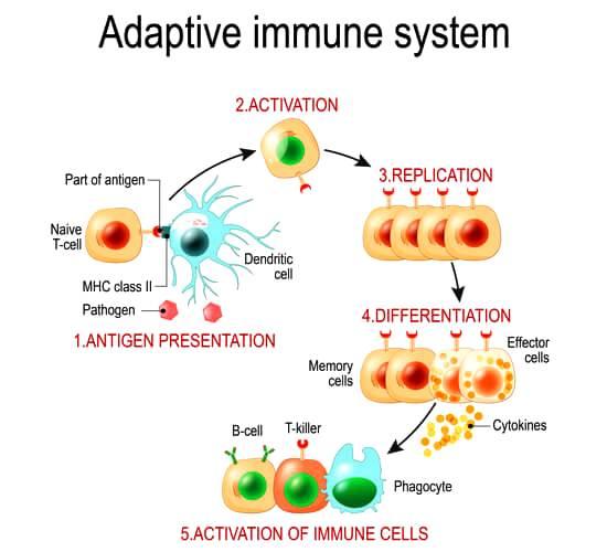anosia adaptive-immune-system