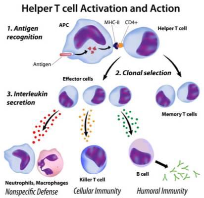 anosia bbHelper-T-cell-activation