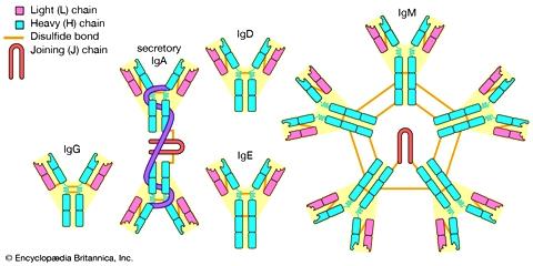 anosia classes-antibodies-IgG-IgA-IgD-IgM-IgE
