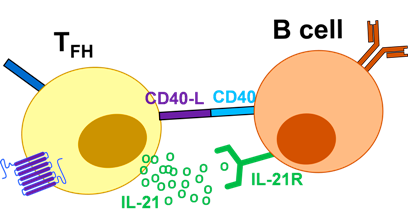 anosia t follicular helper cells (image 2)