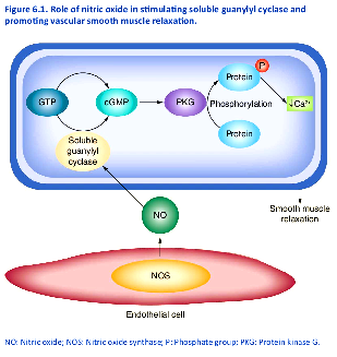 hf Role-of-nitric-oxide-in-stimulating-soluble-guanylyl-cyclase-and-promoting-vascular