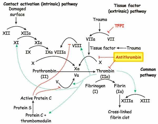 thromb clotting-cascade