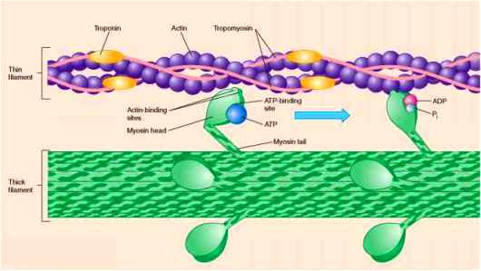 AR 3204_422_615-myosin-heads-release-the-molecule-adp