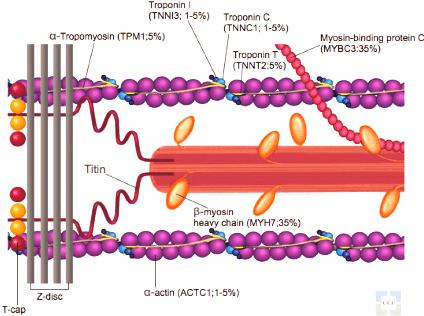 ar Sarcomere-and-myofilament-diagram