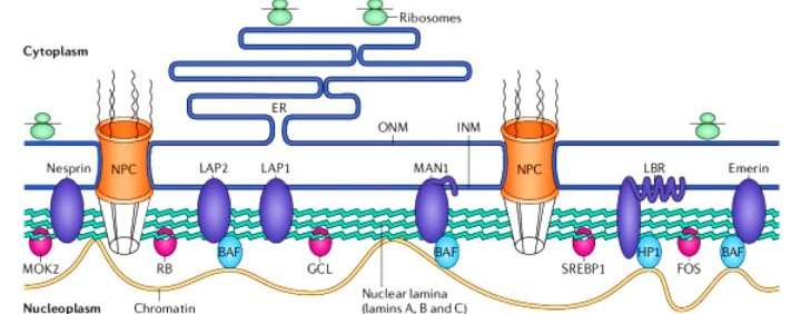 ar-Structure-and-function-of-the-nuclear-lamina-The-nuclear-lamina-lies-on-the-inner